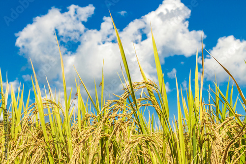 Stampa su Tela Paddy rice field landscape and blue sky and white cloud.