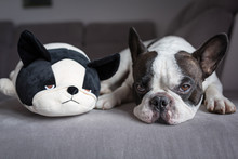 French Bulldog Lying With His Teddy Dog Friend