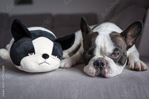 Poster Bouledogue français French bulldog lying with his teddy dog friend