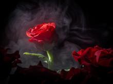 Scarlet Rose Bud Fanned A Haze...