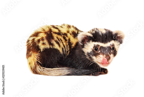 Valokuva  Marbled polecat (Vormela peregusna) licking her lips on white background