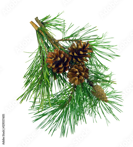 Pine branches with cones, isolated without shadow.