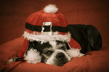 Boston Terrier Dog With Christmas Disguise In Front Of Orange Backdrop