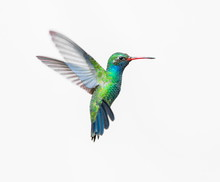 Broad Billed Hummingbird. Usin...