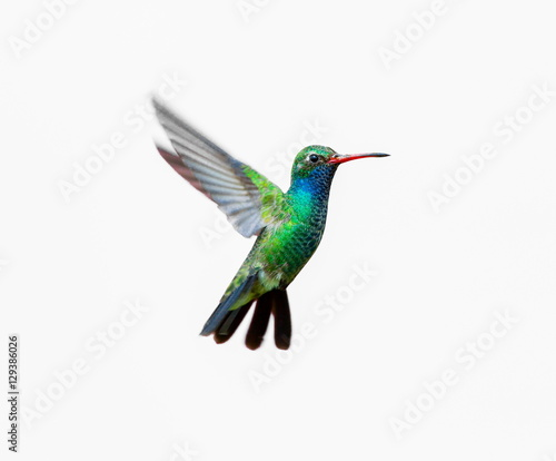 Photo Stands Bird Broad Billed Hummingbird. Using different backgrounds the bird becomes more interesting and blends with the colors. These birds are native to Mexico and brighten up most gardens where flowers bloom.