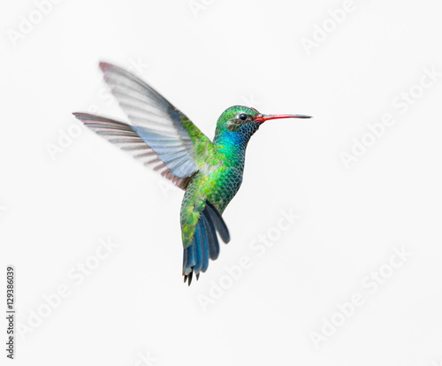 Poster Vogel Broad Billed Hummingbird. Using different backgrounds the bird becomes more interesting and blends with the colors. These birds are native to Mexico and brighten up most gardens where flowers bloom.