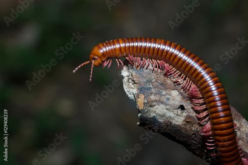Vászonkép the millipede walking Out on a Limb