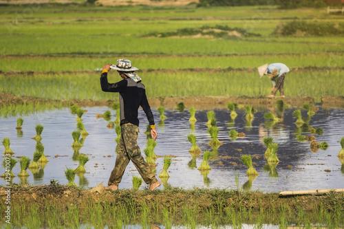 Fotografie, Obraz  villagers in the rice field in vang vieng
