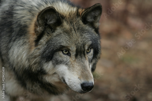Foto op Canvas Wolf North American Gray Wolf