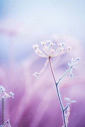 delikatne-azurowe-kwiaty-na-mrozie-delikatnie-blekitny-mrozny-naturalny-zimy-tlo-piekny-zimowy-poranek-na-swiezym-powietrzu-nieostrosc