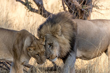 Lions Showing Affection