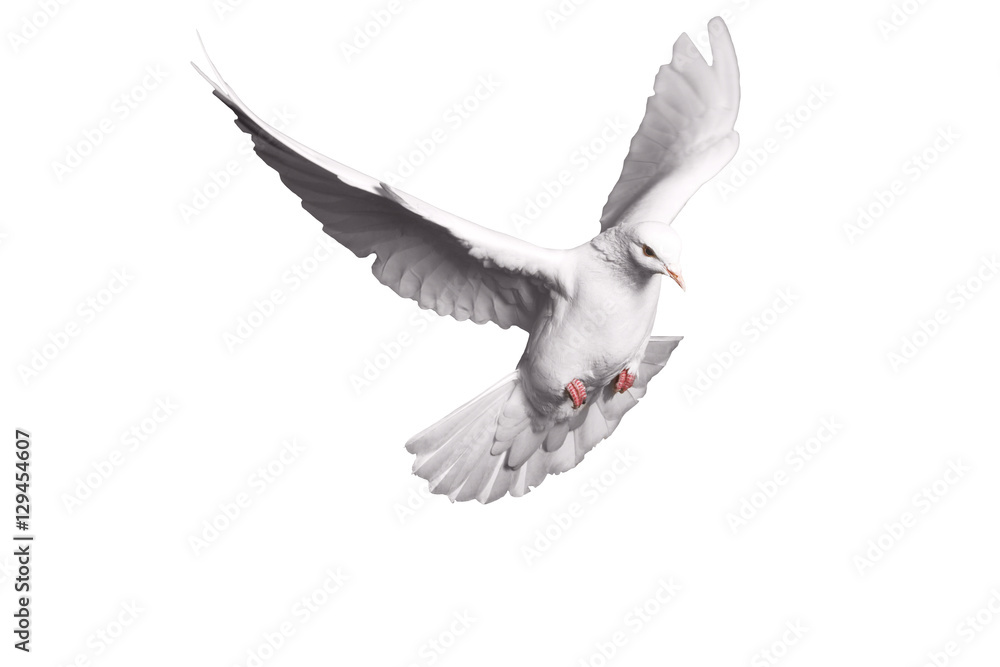 white dove flying on background for freedom concept in clipping path,international day of peace 2017
