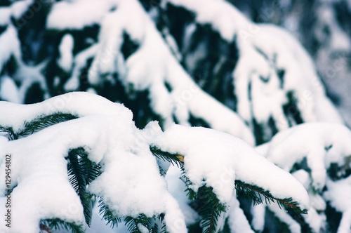 Fotografía Piceas cubiertas de nieve