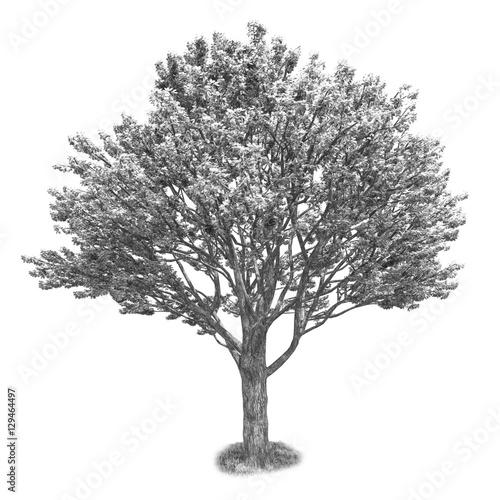 Fotografia, Obraz  Black and white tree isolated