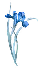 Ink Illustration Of Iris Flower. Sumi-e, U-sin, Gohua Painting Stile, Colored With Blue Colors. Silhouette Made Up Of Brush Strokes Isolated On White Background.