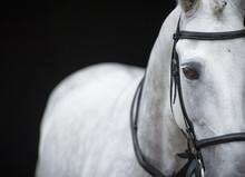 Portrait Of Grey Horse On Black Background.