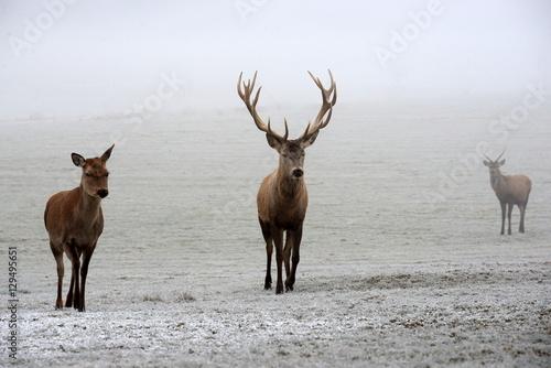 Fotobehang Ree Hirschfamilie im Winter, prächtiger Rothirsch, Reh und Junghirsch im Nebel
