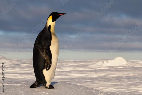 Papiers peints Pingouin Emperor penguin with long neck during sunset