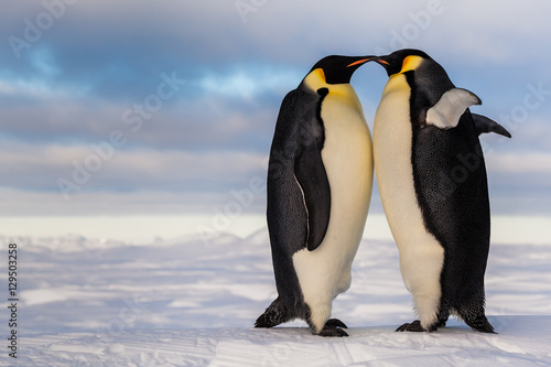 Two emperor penguins standing belly to belly, cheering