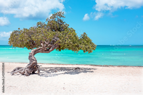 фотография Divi divi tree on Aruba island in the Caribbean Sea