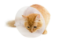 Red Cat, Wearing A Elizabethan Collar On A Light Background