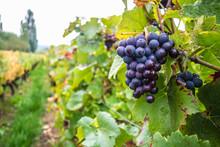 フランスブルゴーニュワイン畑