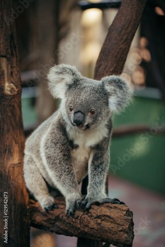 Garden Poster Koala A cute Koala bear