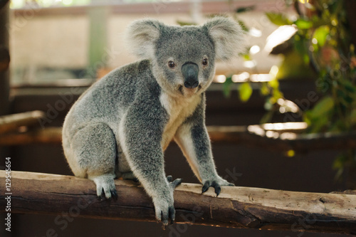 Staande foto Koala a close up of cute baby koala bear posing in the zoo, Australia