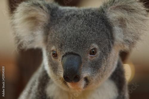 Garden Poster Koala a portrait of cute baby koala bear