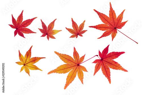 Photo  紅葉したモミジの葉