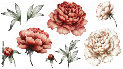 Fotografía Set vintage watercolor elements of red and white peonies, collection garden flowers, leaves, illustration isolated on white background