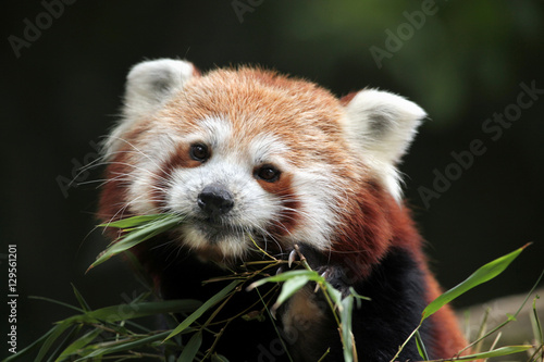 Red panda (Ailurus fulgens). Wallpaper Mural