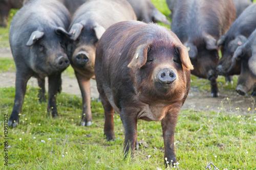 Pinturas sobre lienzo  Iberian pigs in the meadow