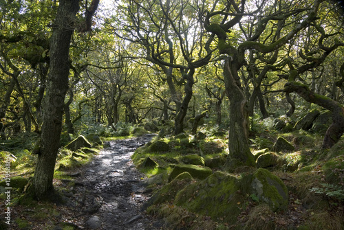 Fotografie, Obraz  Twisted trees on the Longshaw Estate, Peak District, UK