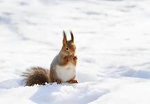 Beautiful Fluffy Squirrel Eati...