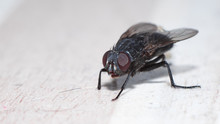 Closeup View Of Housefly On The Floor Isolated, Macro