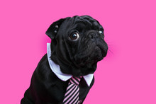 Black Pug Dog Portrait On Pink...