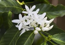 White Coffee Flowers