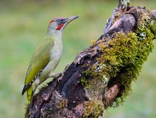 Male European Green Woodpecker...