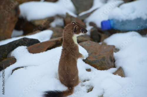 Fotografia A curious ermine on top of the mountain pass.