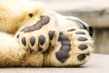 Paws Of Polar Bear. Ursus Mari...
