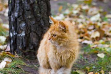 Naklejka na ściany i meble red cat on a walk in the park