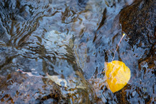 An Aspen Leaf Clings To A Rock While Submerged Below The Water's