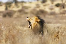Roaring Lion (Panthera Leo), Kgalagadi Transfrontier Park, Kalahari, Northern Cape