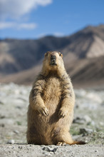 An Inquisitive Himalayan Marmot Unwittingly Strikes A Pose, Ladakh