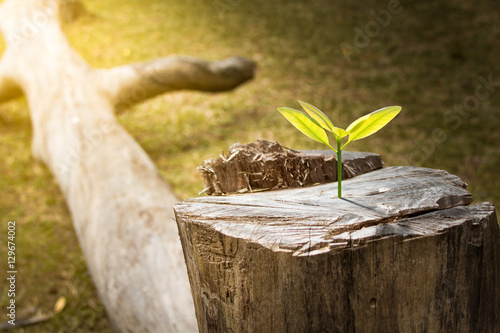 Photo  New development and renewal as a business concept of emerging leadership success as an old cut down tree and a strong seedling growing in the center trunk as a concept of support building a future