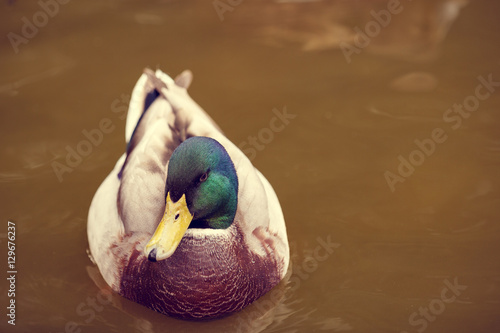 duck on the lake in the zoo Poster