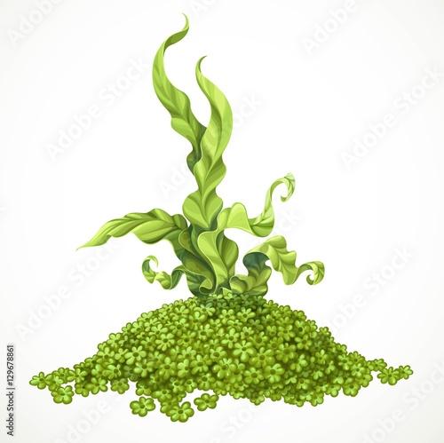 Marine green algae on hill of actinium sea life object isolated Canvas Print