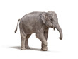 elephant with out tusk isolated on white background