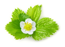 Strawberry Leaves With Flower Isolated On White Background. Macr
